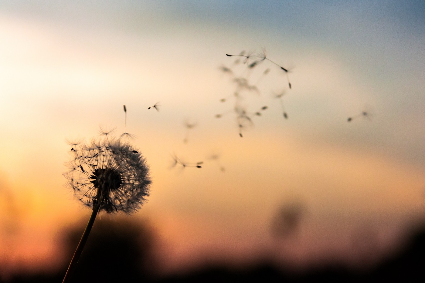 A dandelion blowing in the wind at sunset.