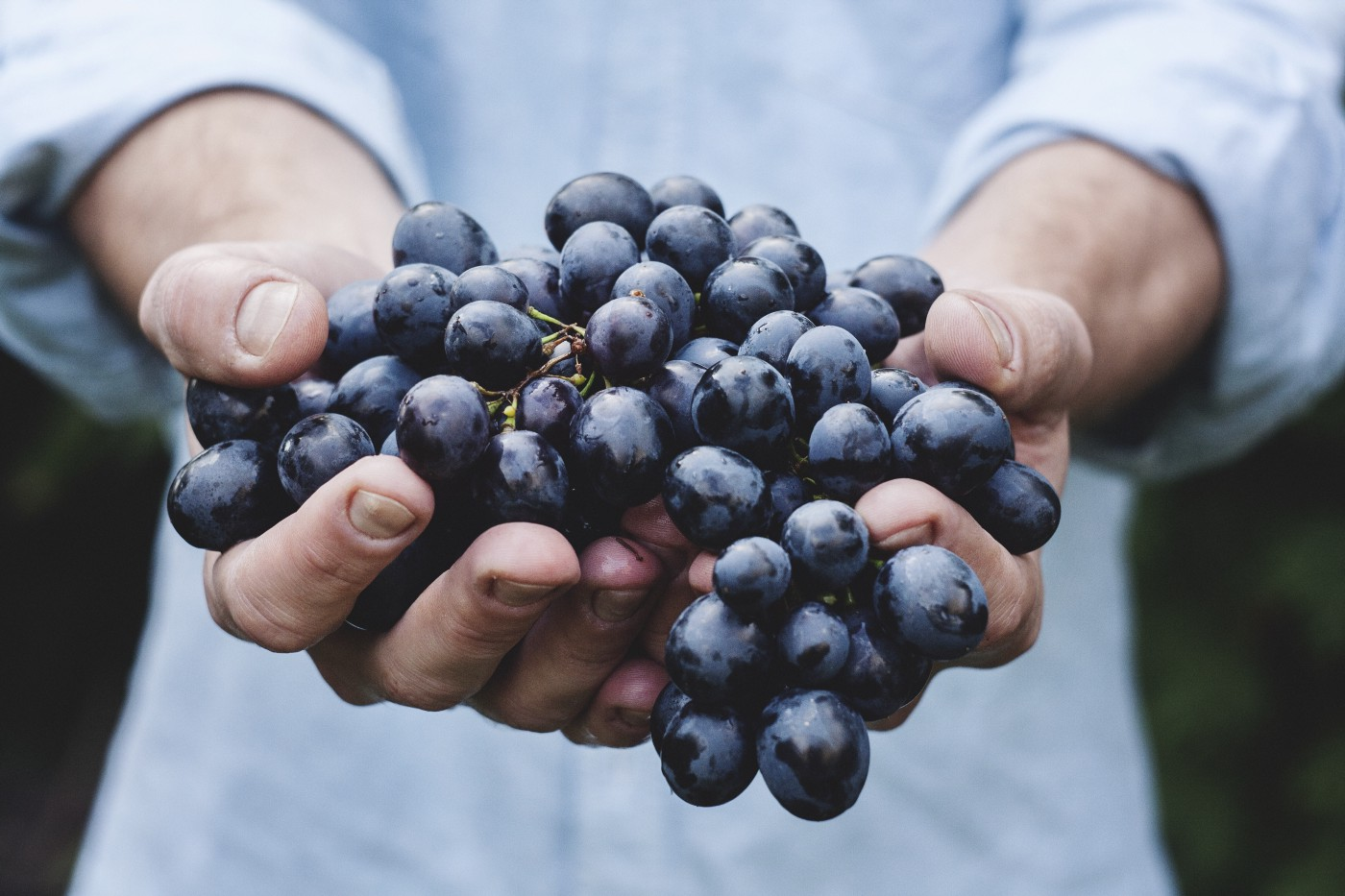 Hands holding bundle of grapes