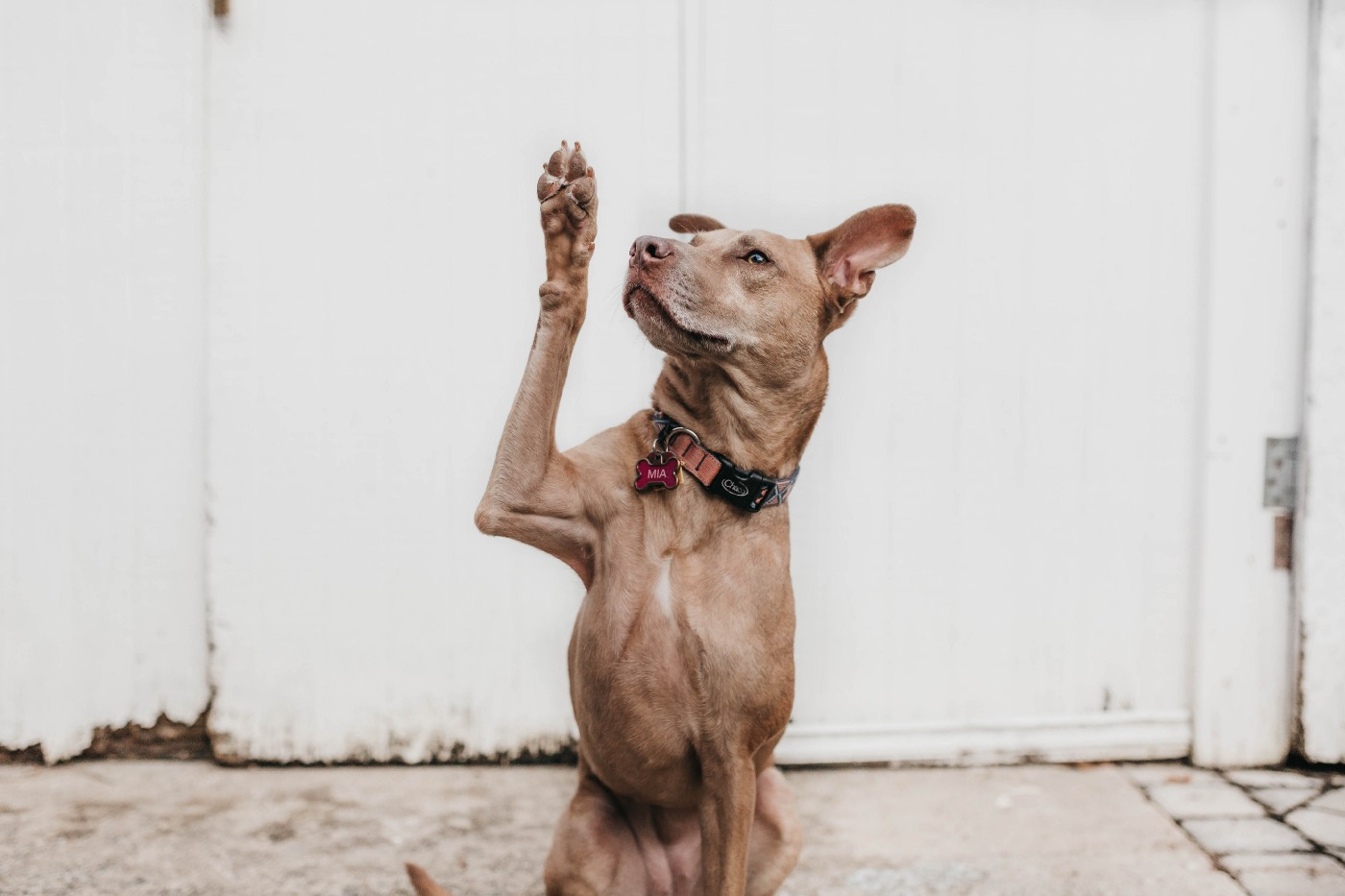 This is a photo of a dog raising a paw to ask a question.