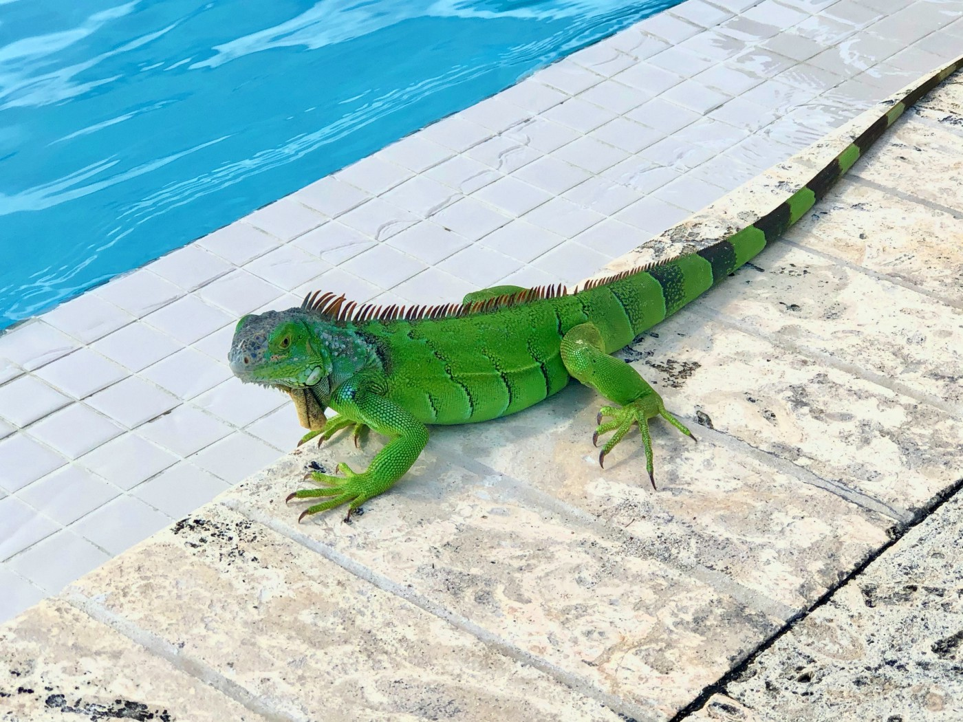 A green iguana by a swimming pool.