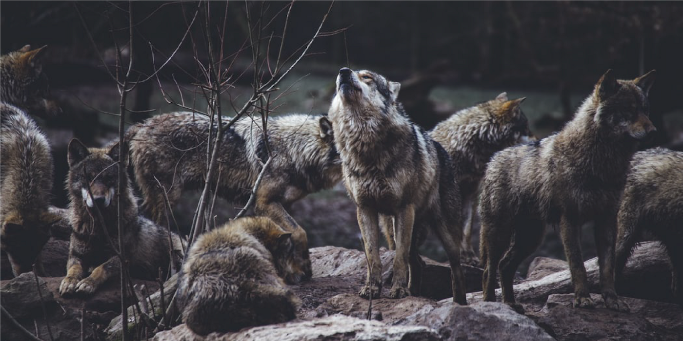 A group of wolves and one of them is howling.