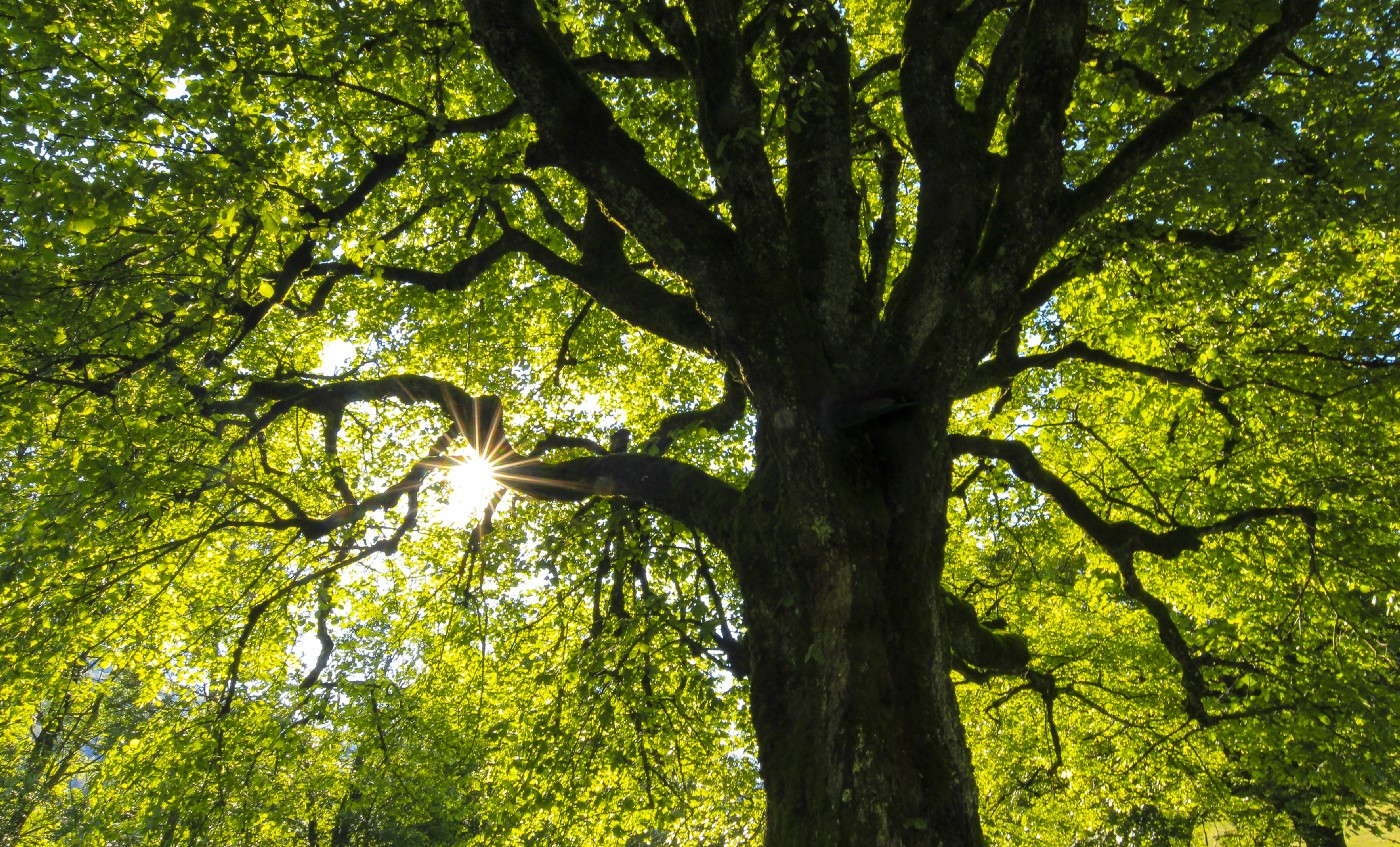 A tree trunk, branches and canopy seen from the ground with sunlight coming through to the left of the photo.