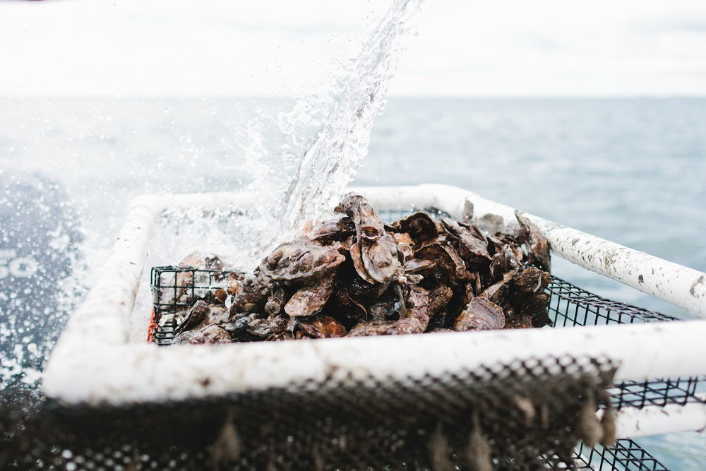 A wire basket full of mussels with a stream of water pouring down on it.