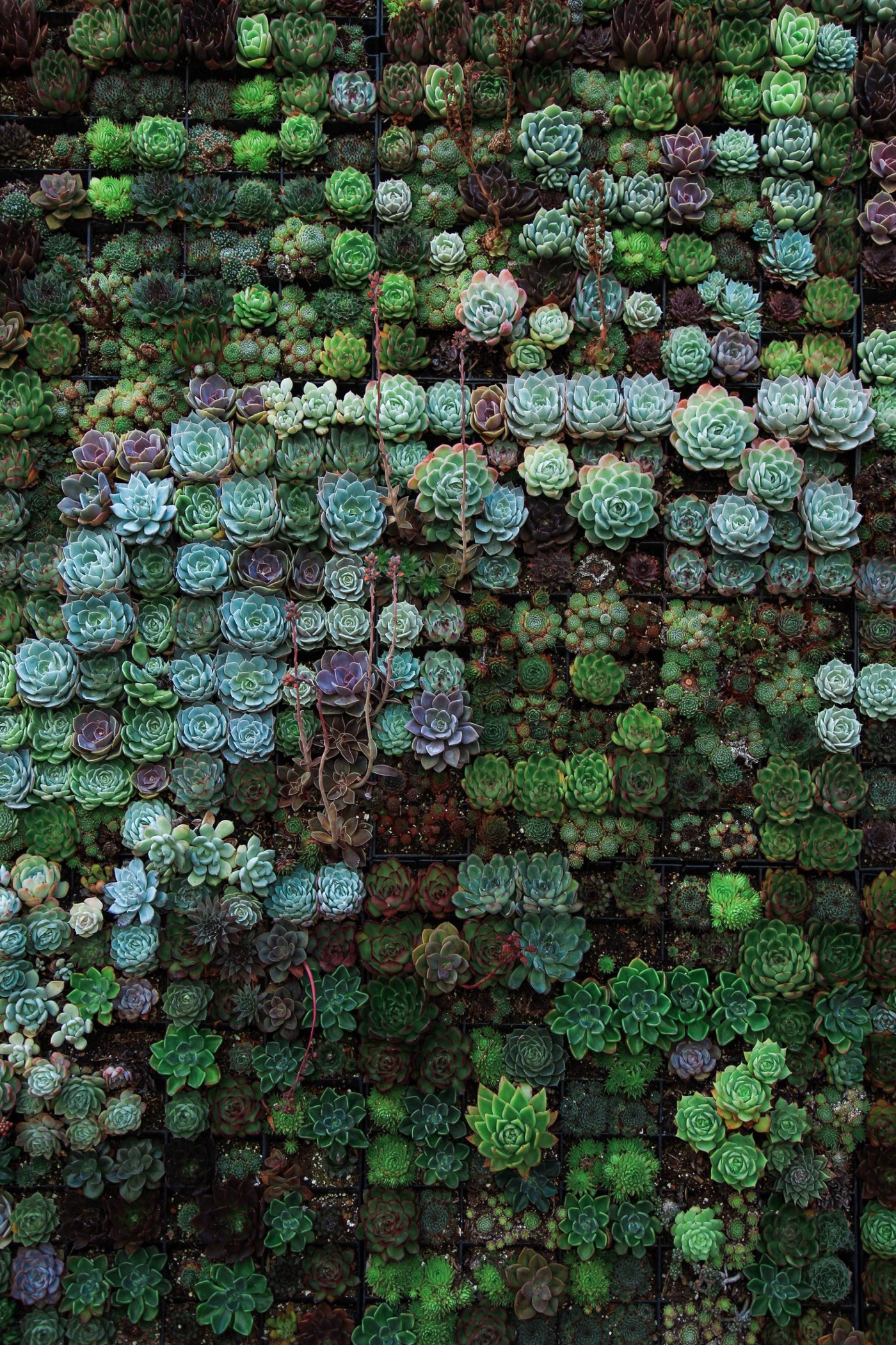 A photo of thosuands small succulent plants neatly arranged one next to the other.