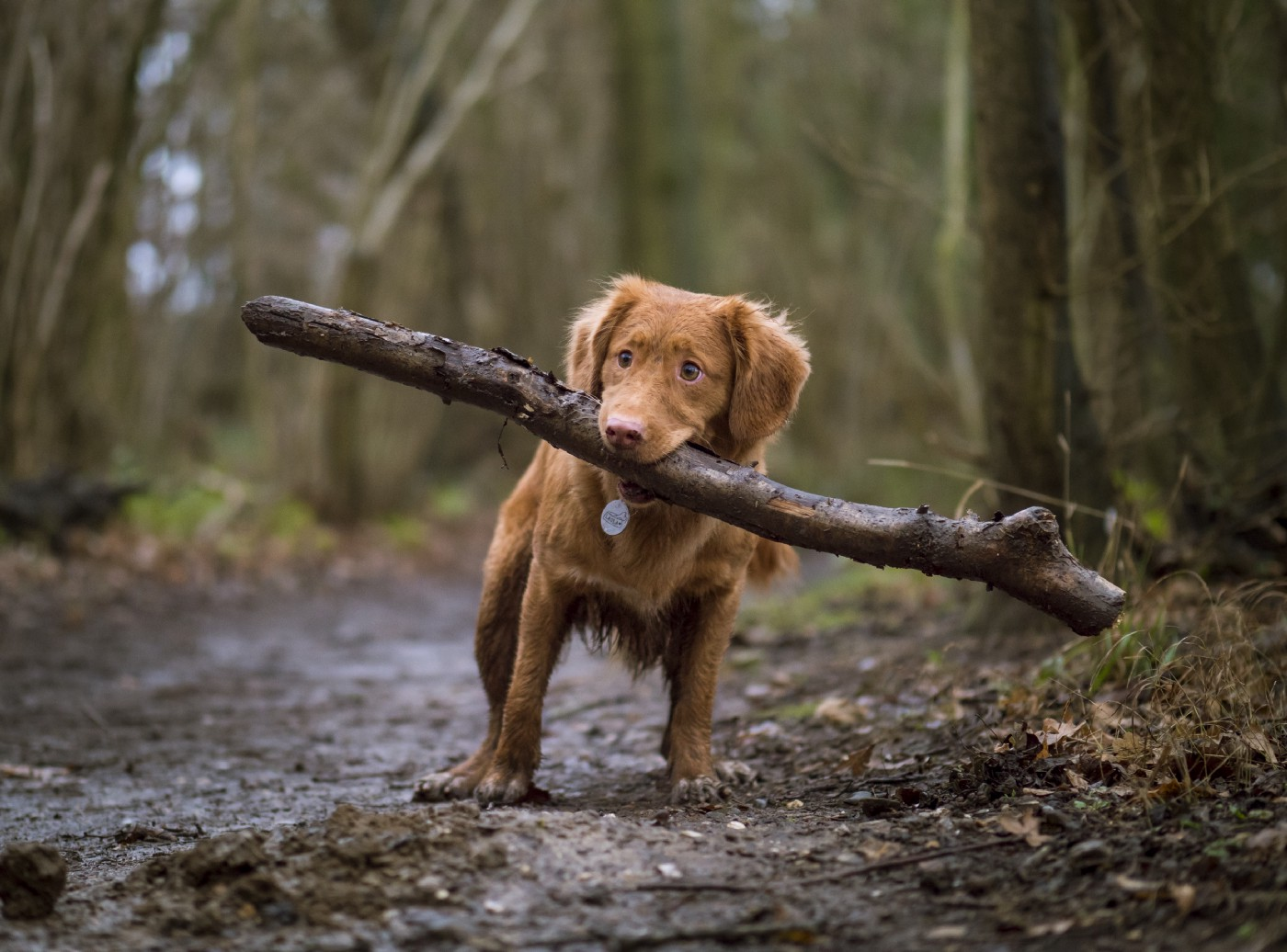 Dog carrying large branch in its mouth