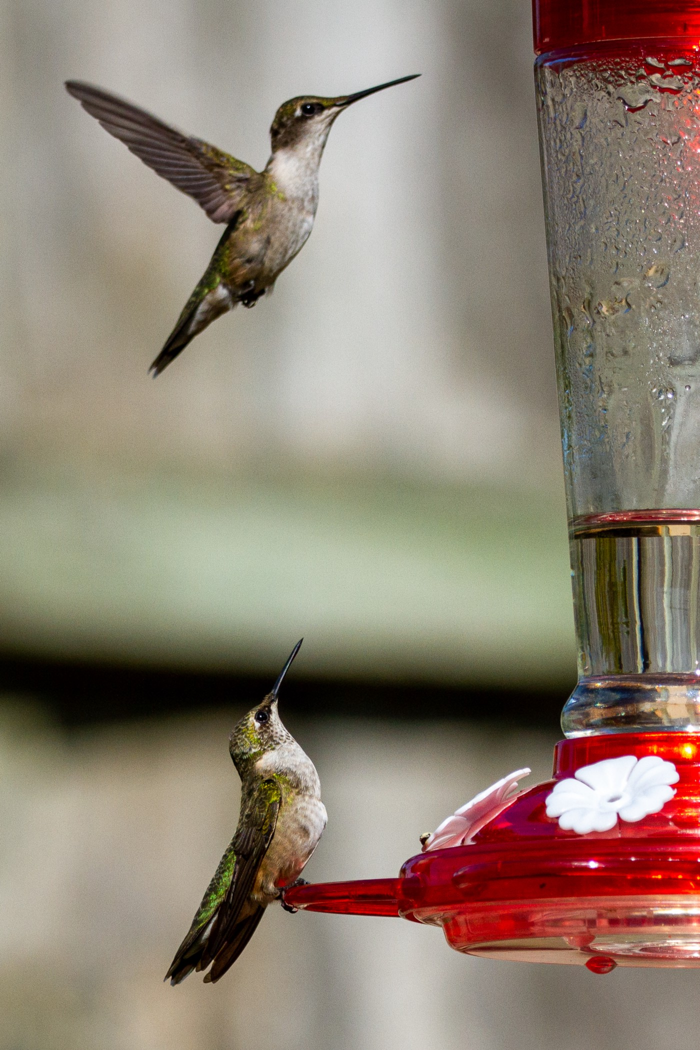 Close up of two hummingbirds feeding from same feeder.
