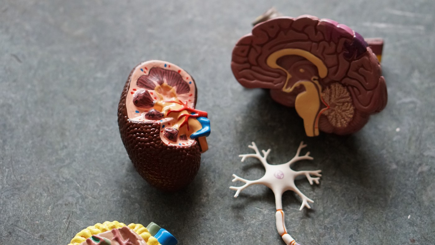 Anatomical model of the human brain