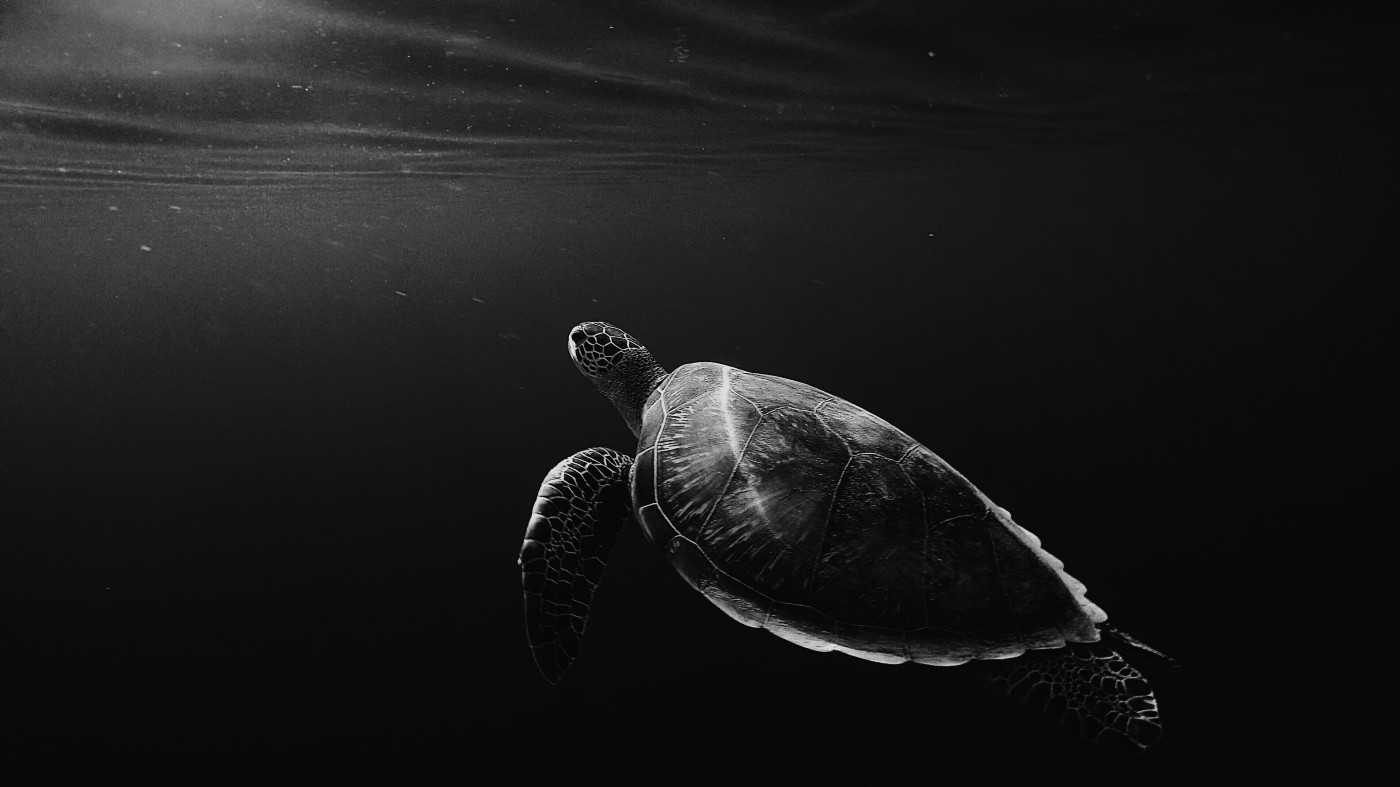 Black and White Image of a turtle Underwater