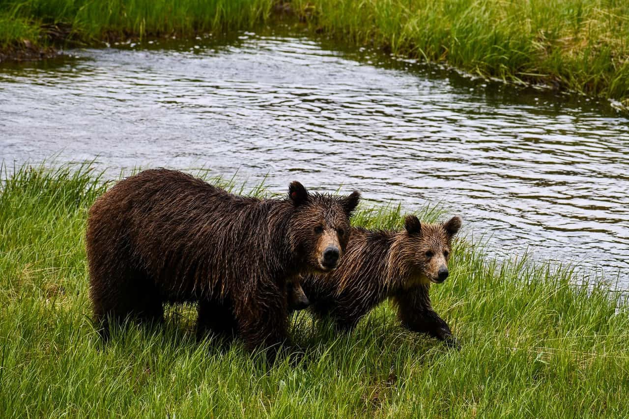 Mother brown bear with older cub in grass by water