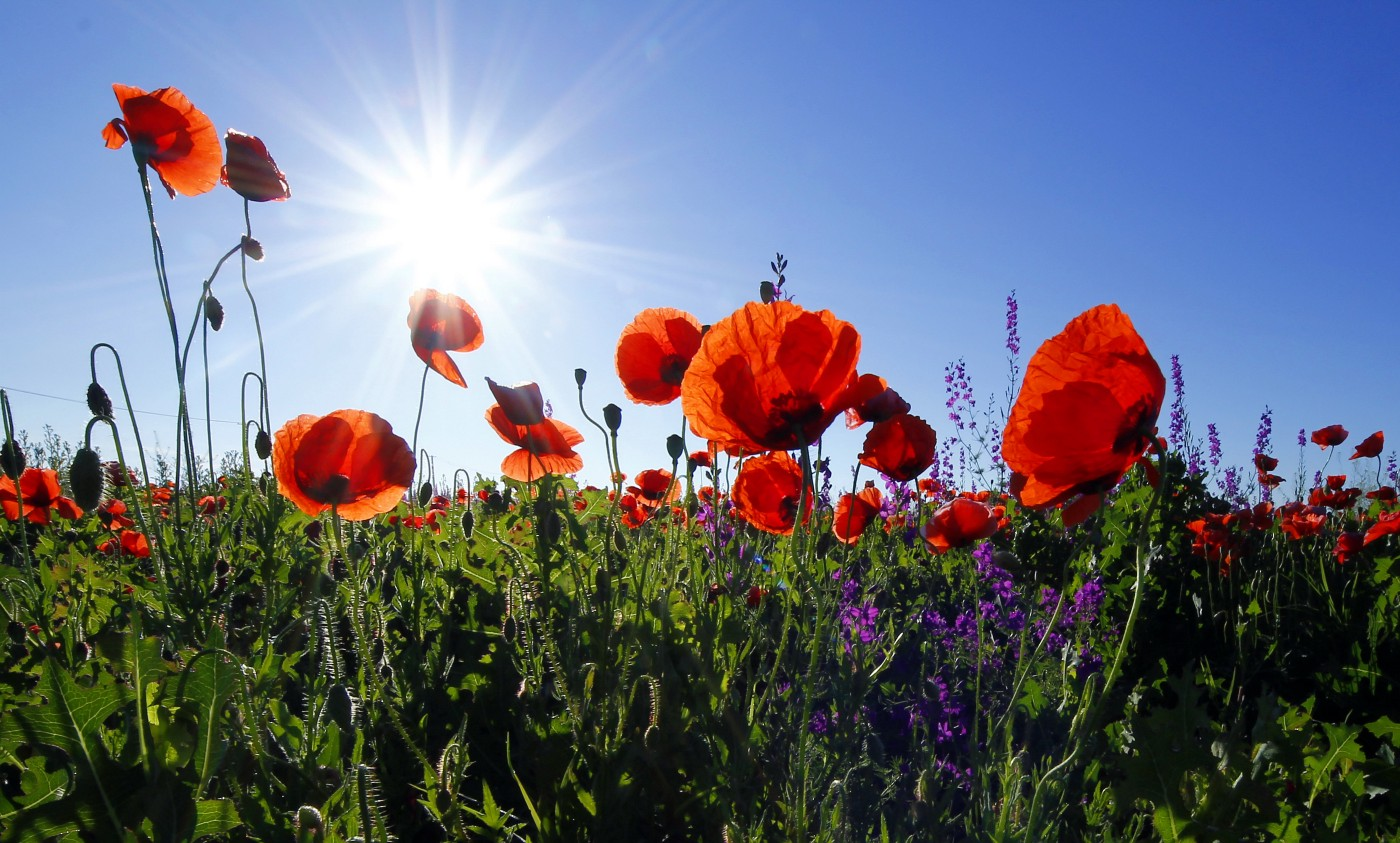 photo of green field, with red poppies with sun shining in blue sky
