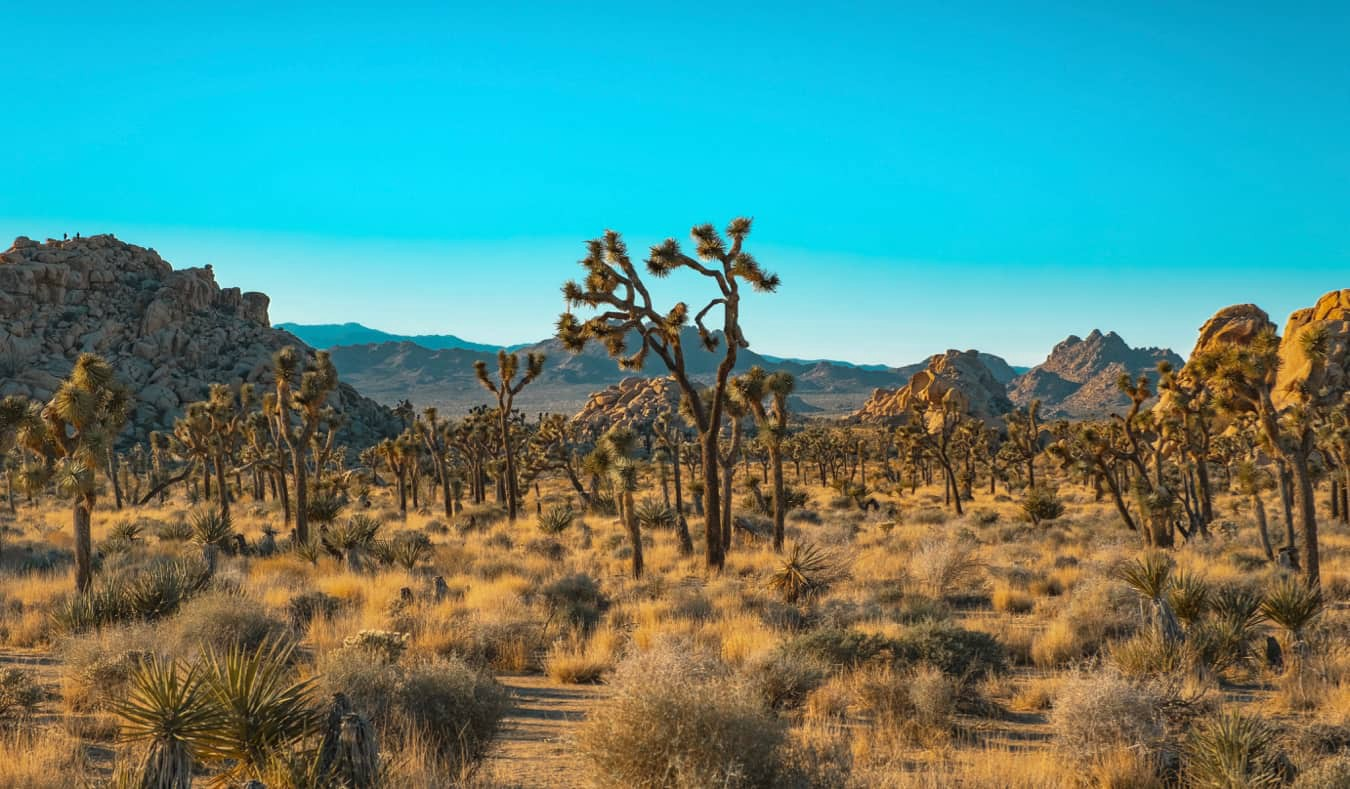 The rugged terrain brimming with Joshua trees in Joshua Tree National Park