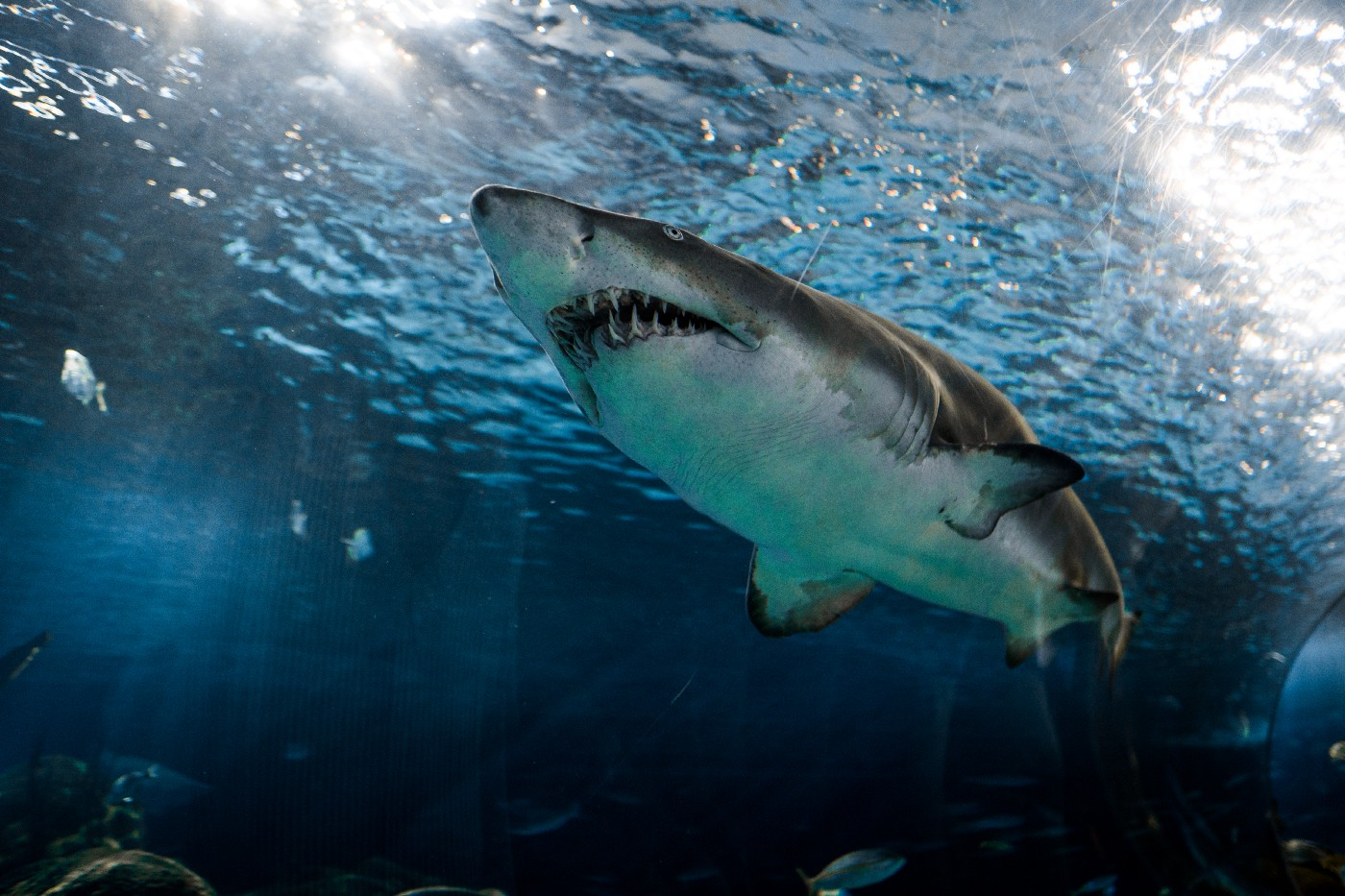 A great white shark swims just below the surface of the water, looking menacing and toothy