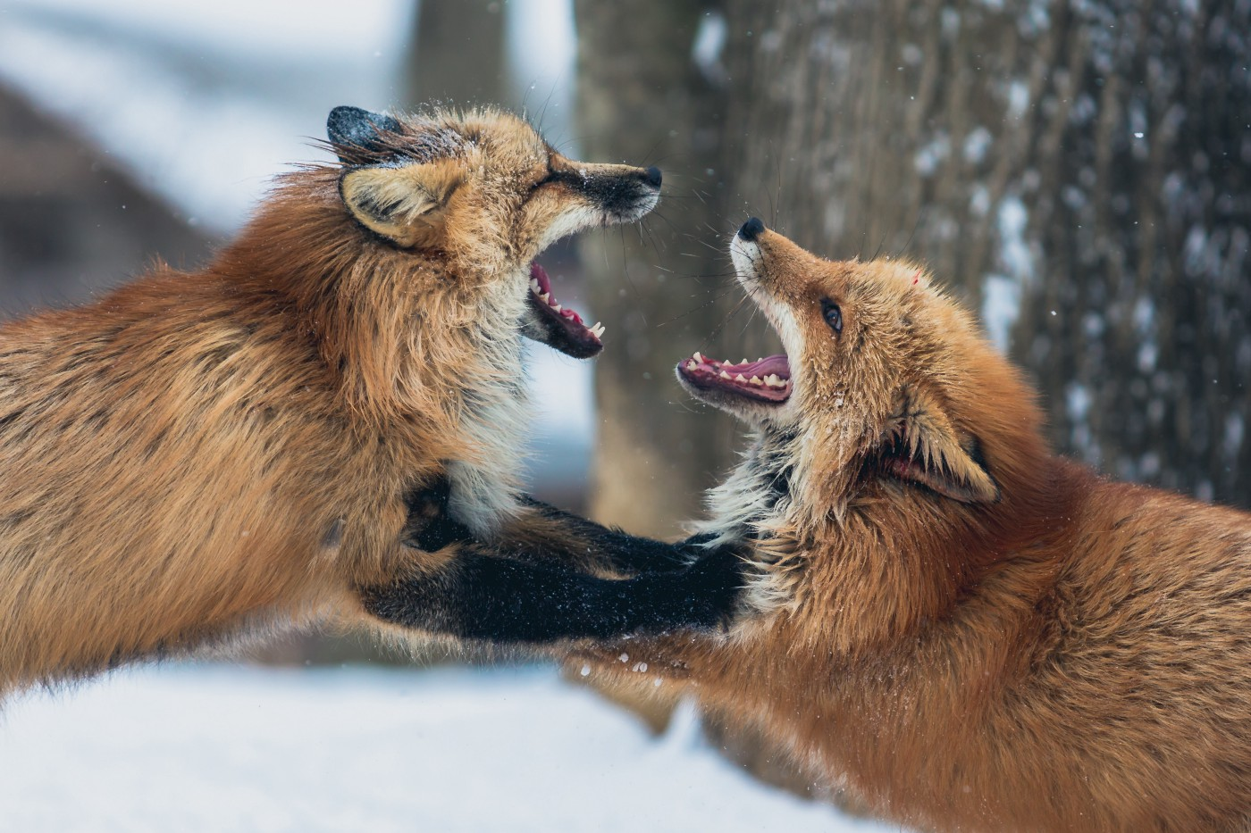 Two arguing foxes.