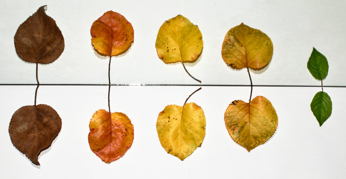 5 leaves aligned one next to another, starting from the largest to the smallest. Also, each leaf is different color, starting from the most brown, then ornage, yellow, and finally green.