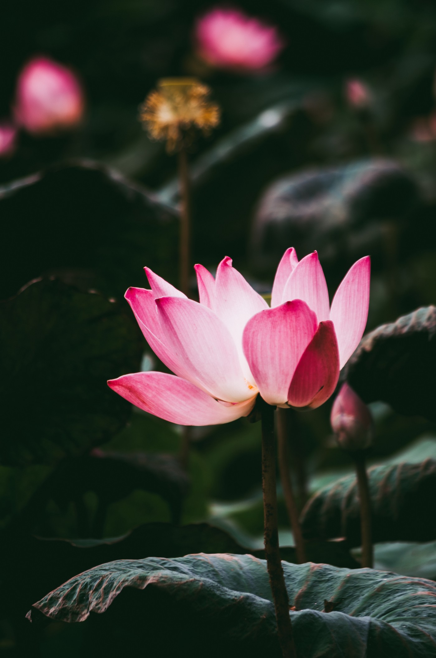 Image of the lotus flower which symbolizes purity, rebirth, and regeneration.