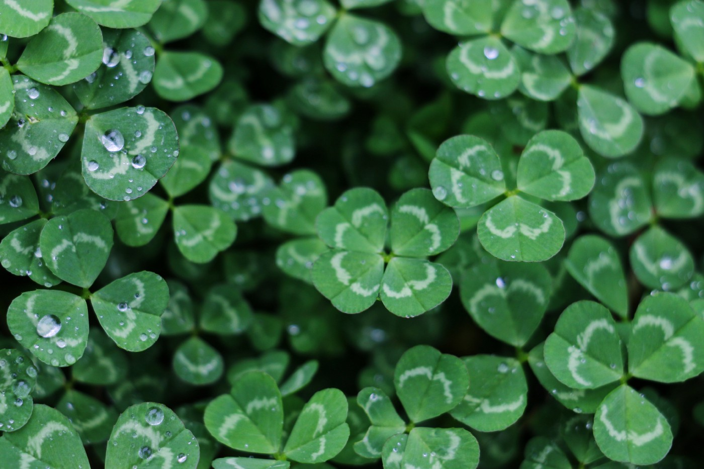 A four leaf clover stands out in a field of three leaved clovers.