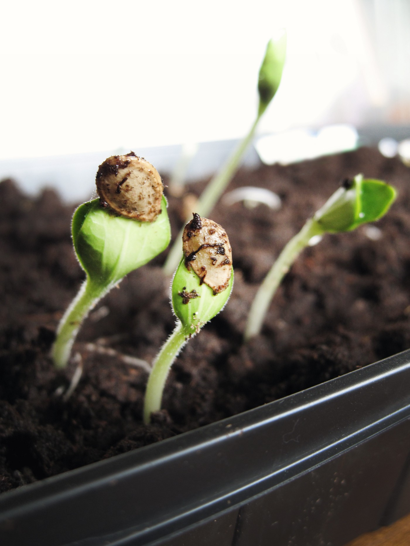 Bean sprouts starting grow from dirt.
