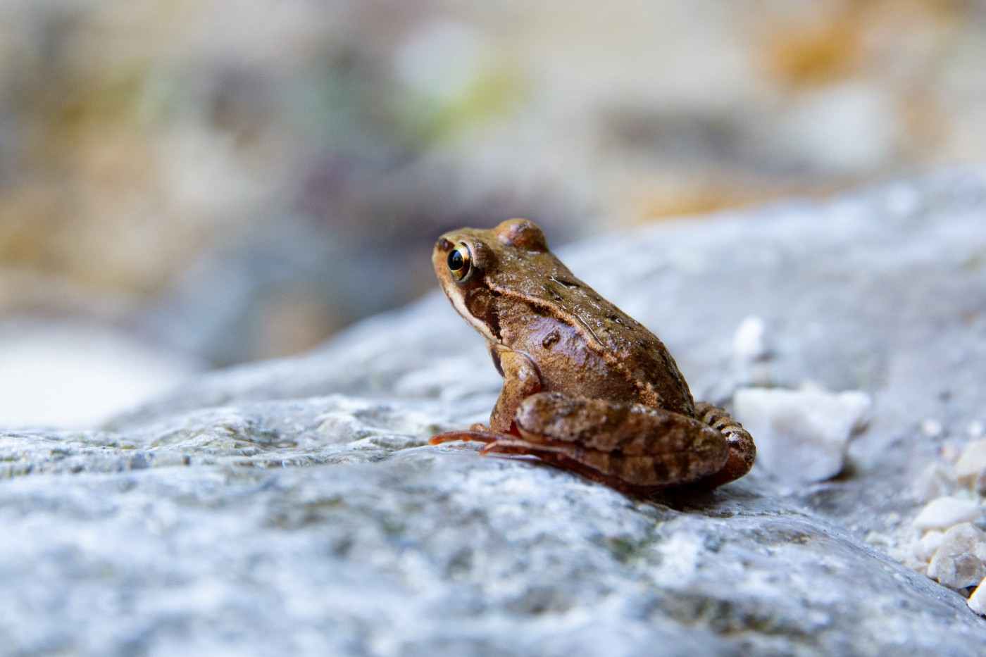 A small frog sitting on a rock looking away from the screen.