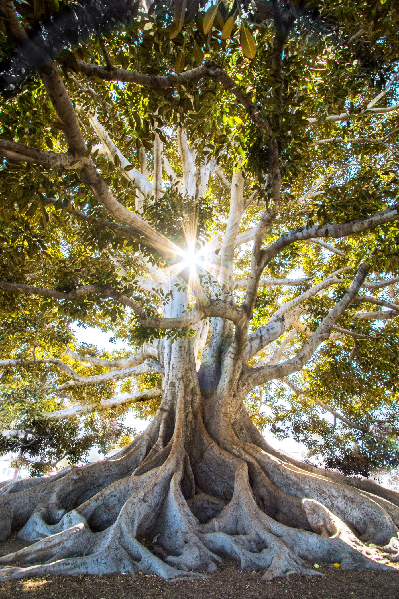 A massive tree with sunlight shining through its leaves and branches