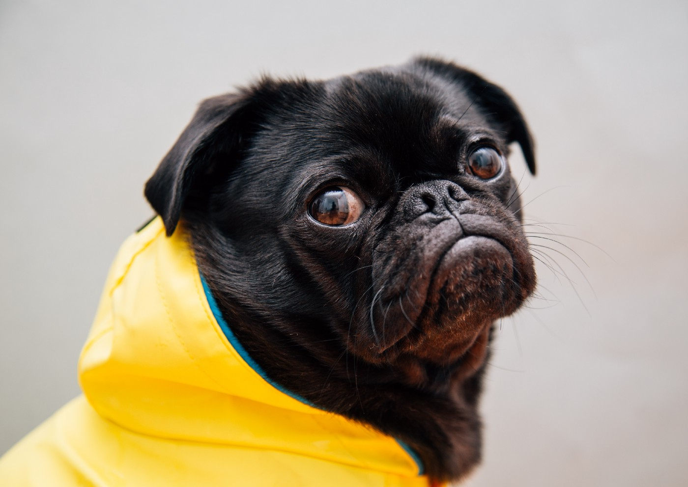 pug dog looking sad