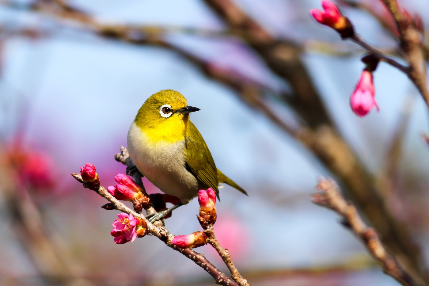 A bright yellow bird perches on a branch budding with pink flowers.