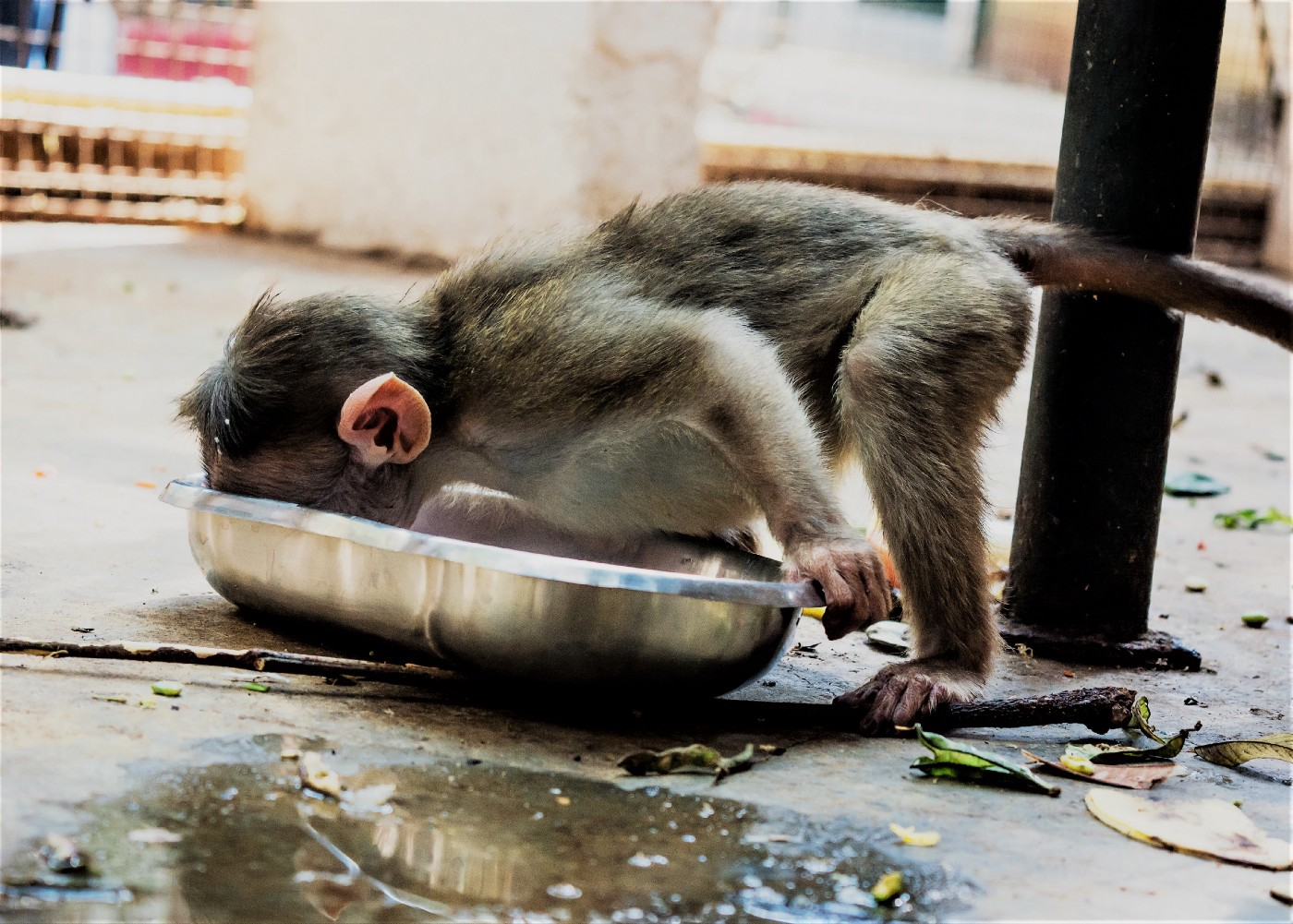 A monkey's face planted head first in a stainless steel pan.