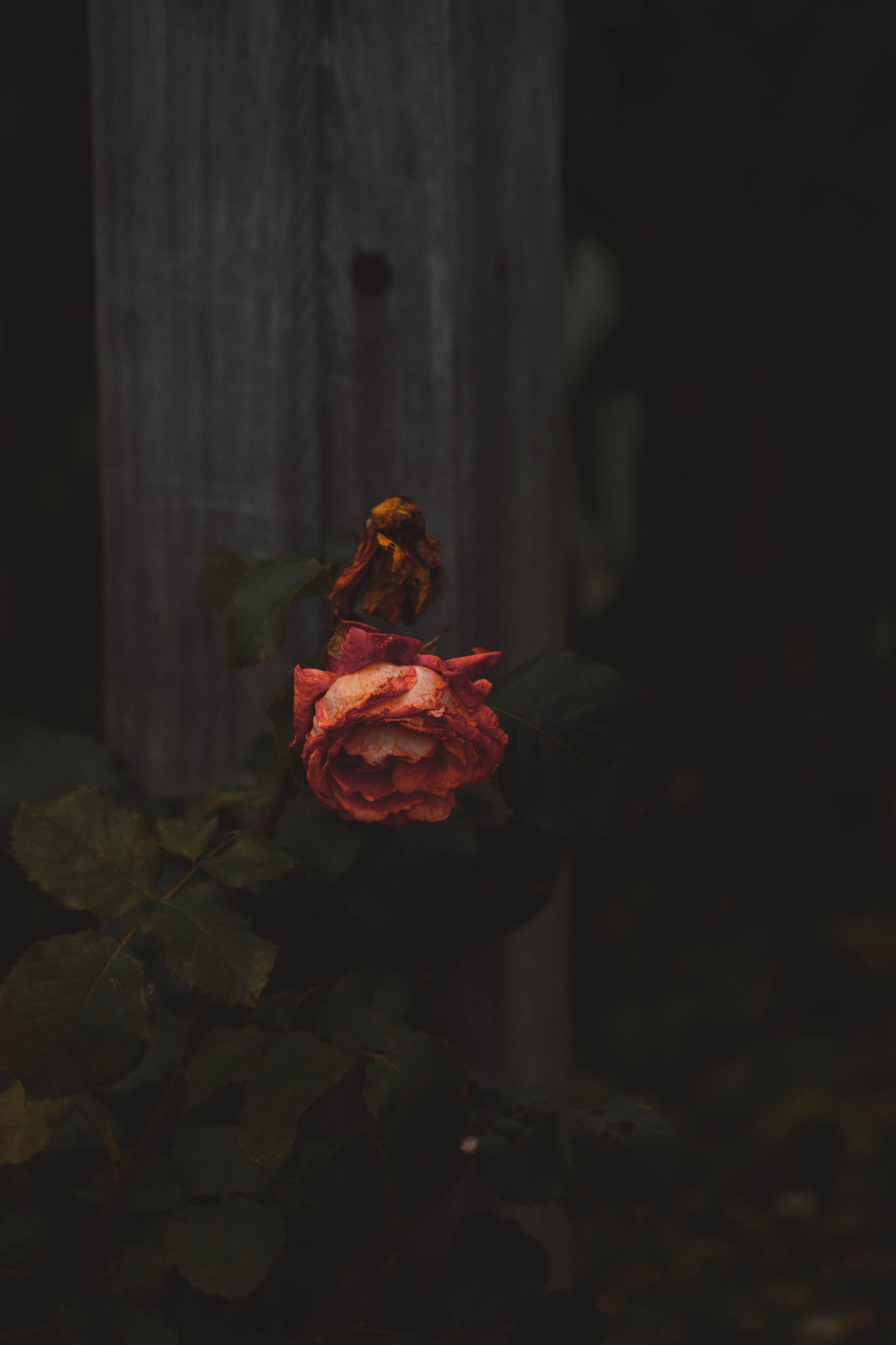 a dark background showing only a single, slightly dying rose falling