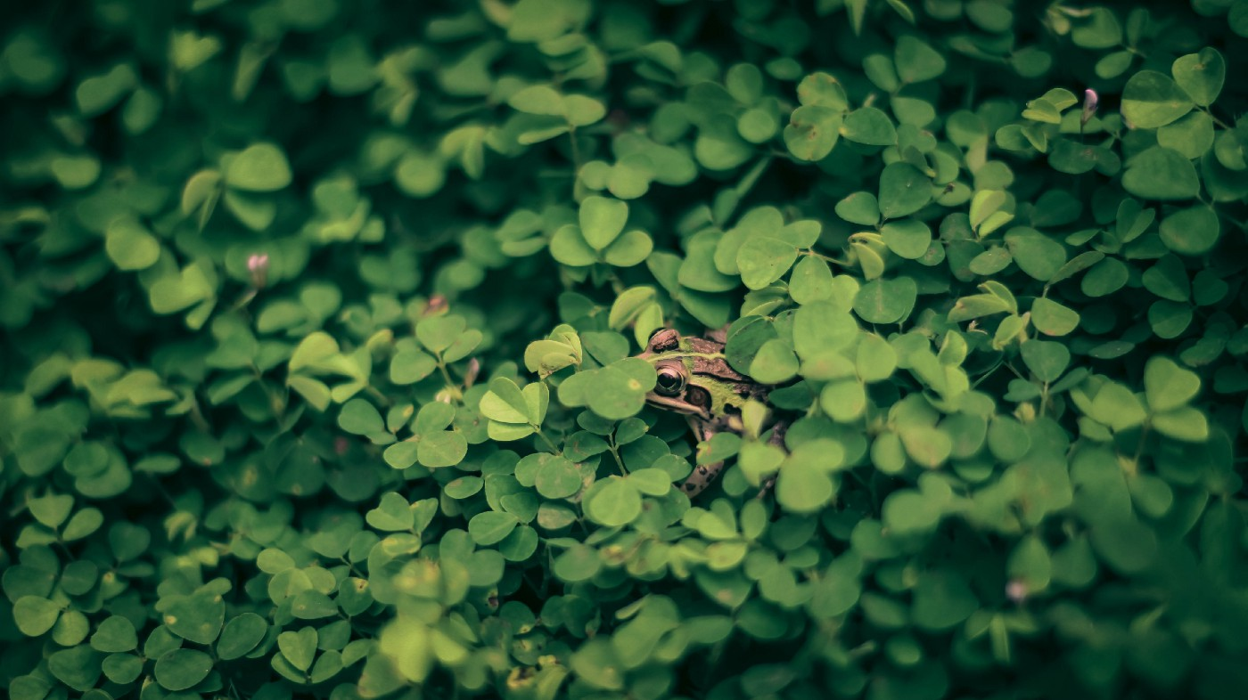 A frog almost entirely hidden in a patch of green clover