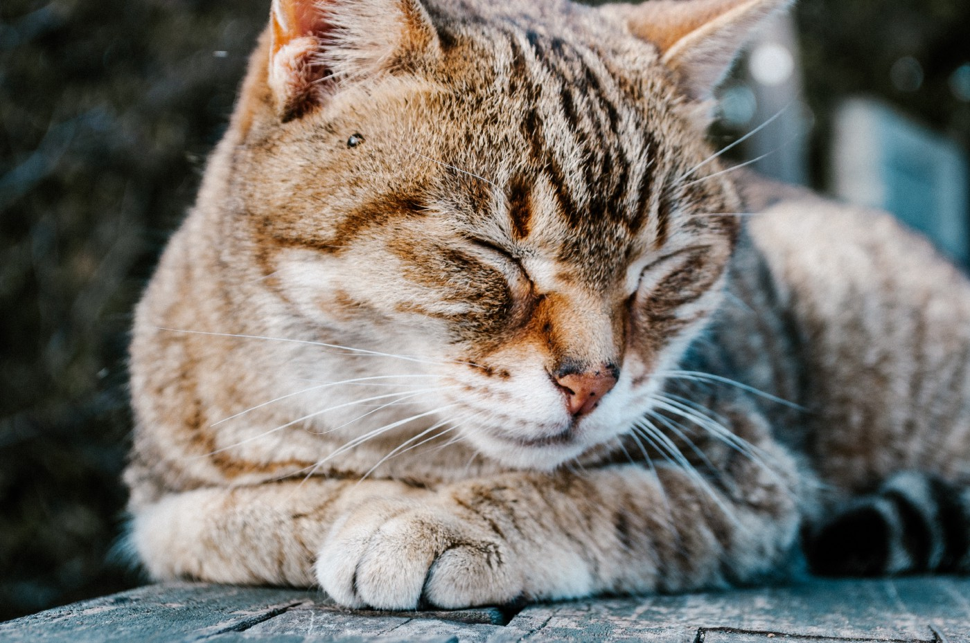 Cat resting with its eyes closed
