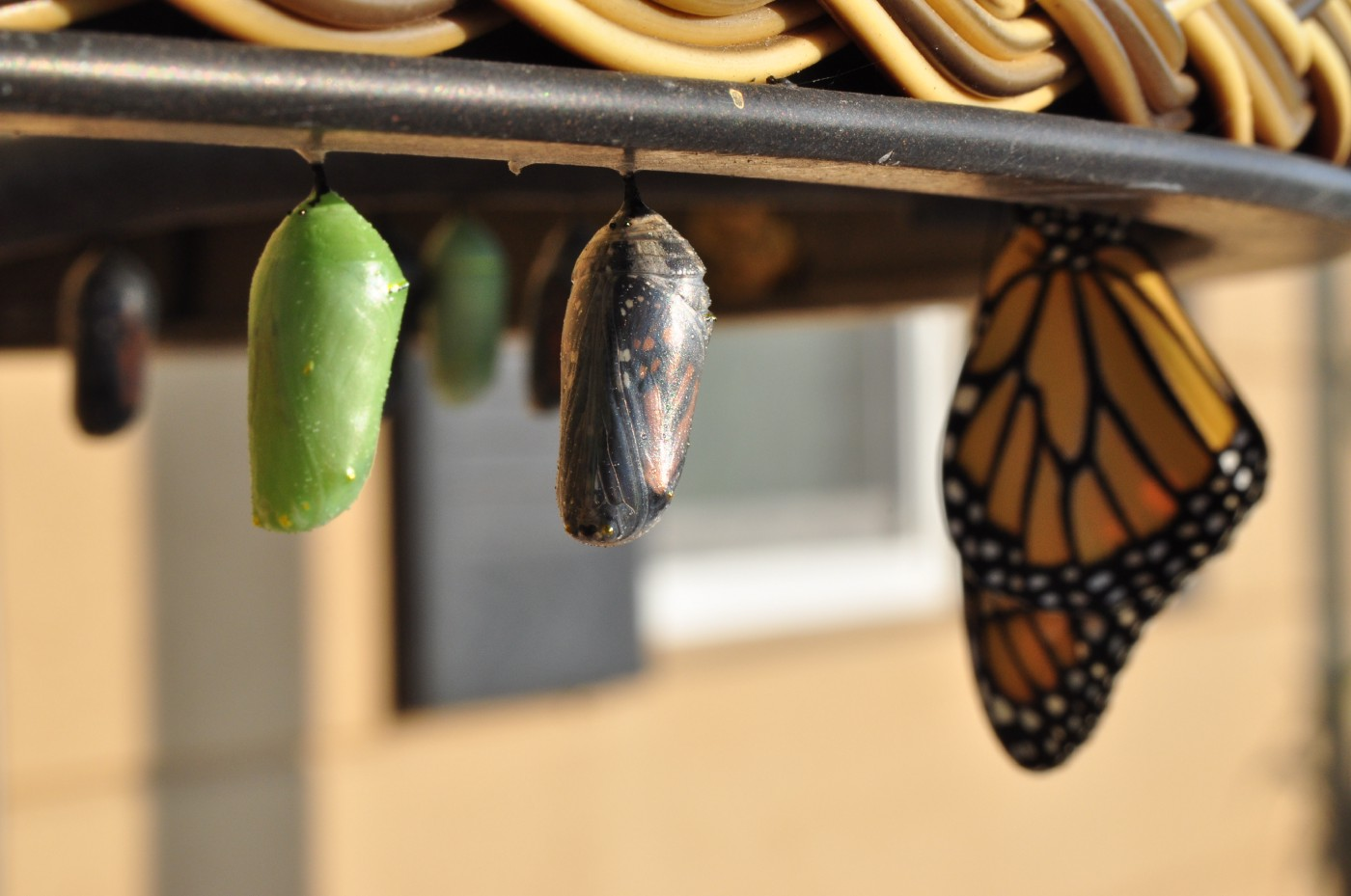 a newly hatched Monarch butterfly and two pupae at different stages of maturity