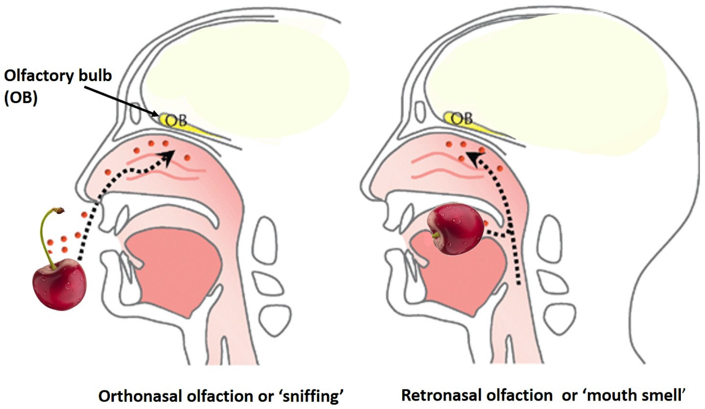 A diagram showing two ways of smelling, one through our noses and one through our mouths via a passageway back to our noses.
