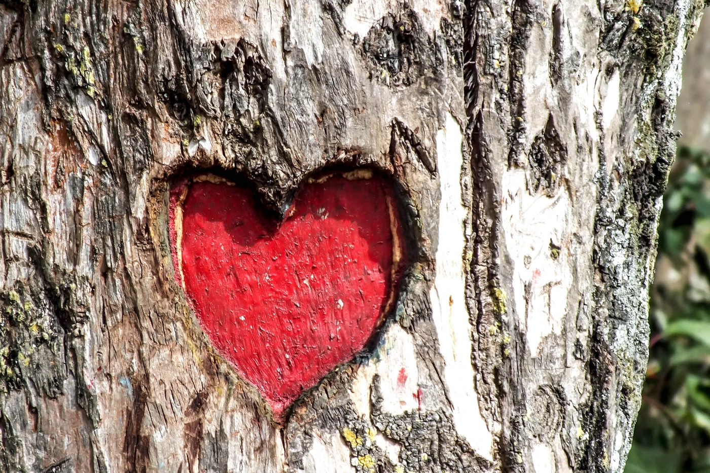 A red heart carved into the bark of a tree.