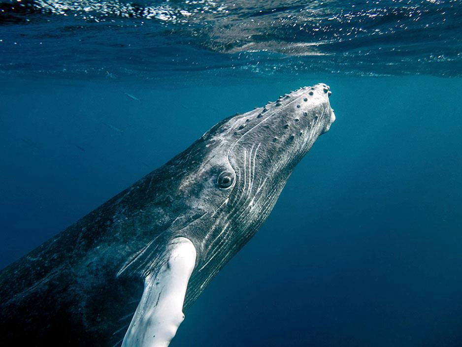 A humpback whale ascending to the surface.