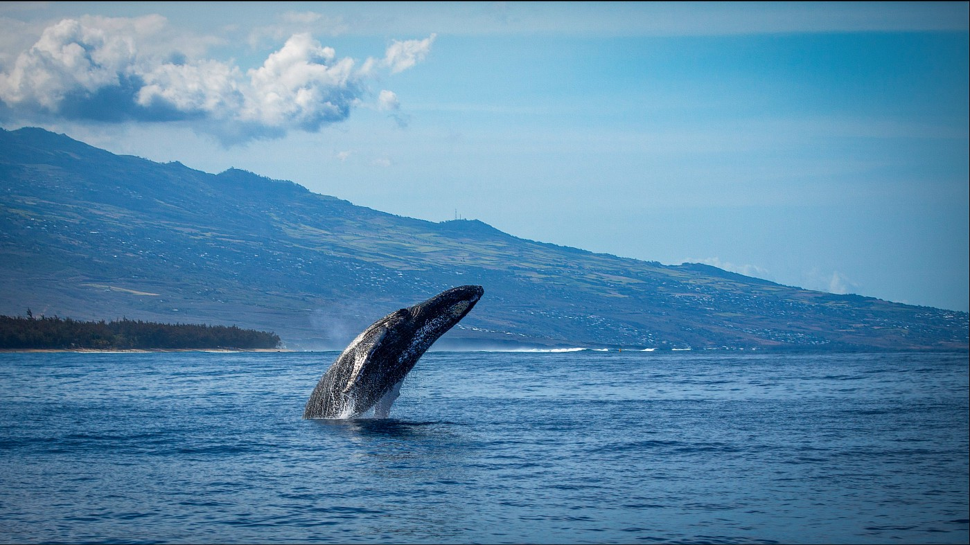 blue ocean against darker blue mountains, lighter blue sky with a few white puffy clouds, a single dark gray whale half risen from the water