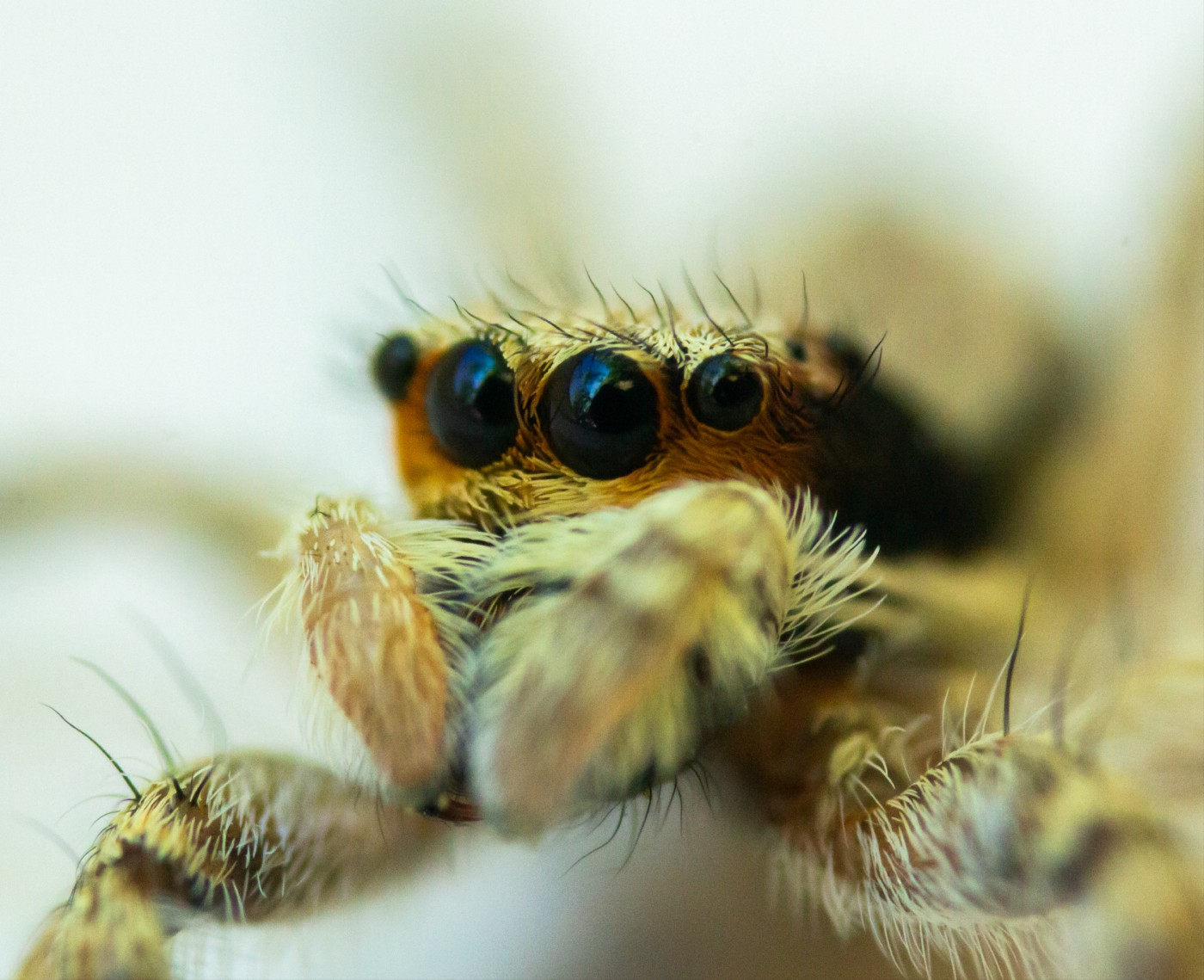 A fluffy spider with cute, slightly mournful eyes.