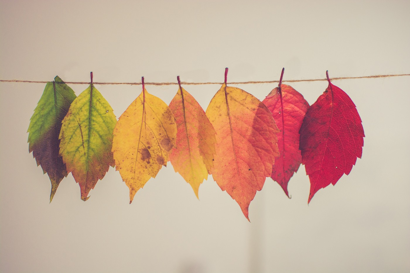 Photo of seven leaves in a line, showing the progression of autumn leaf colours. The left-most leaf is green and each leaf is in various stages of colour change; the final colour is red, as shown in the leaf on the right.