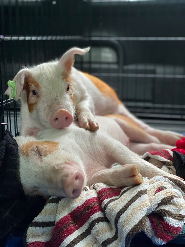 2 white-and-brown spotted piglets cuddling on a blanket on the floor next to some dog crates.
