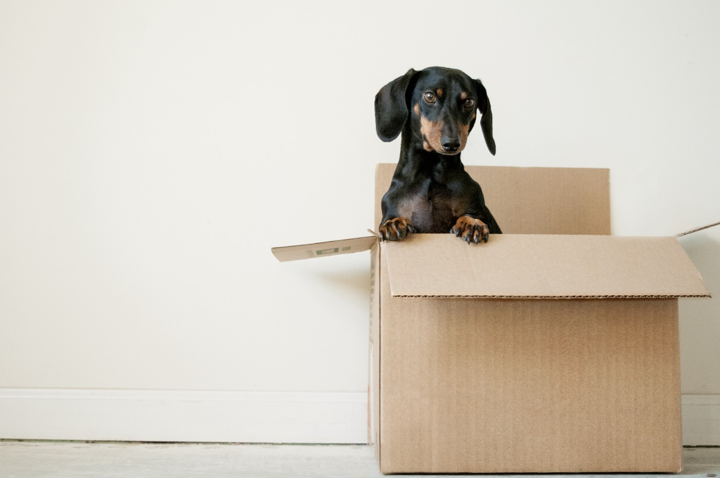 A small dachshund puppy peers out from the confines of a large cardboard box.