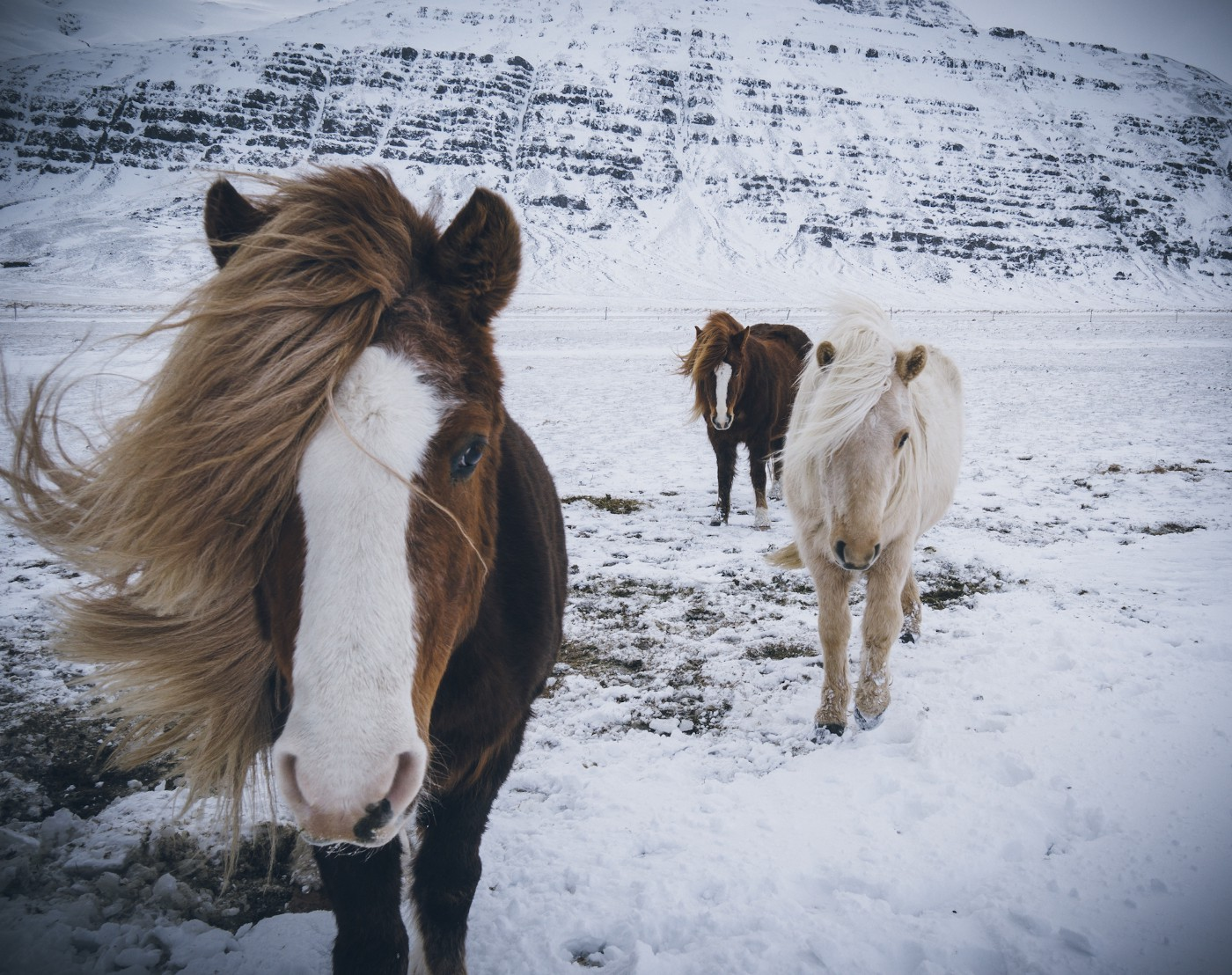 Icelandic horses in the snow.