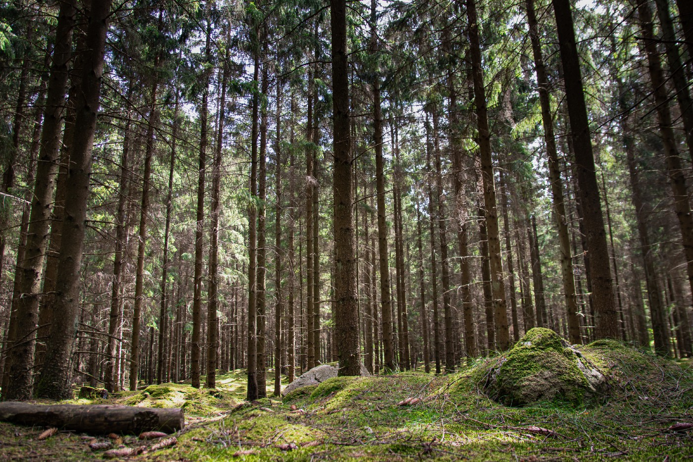 Forest of tall trees with mossy green grass covering the ground.