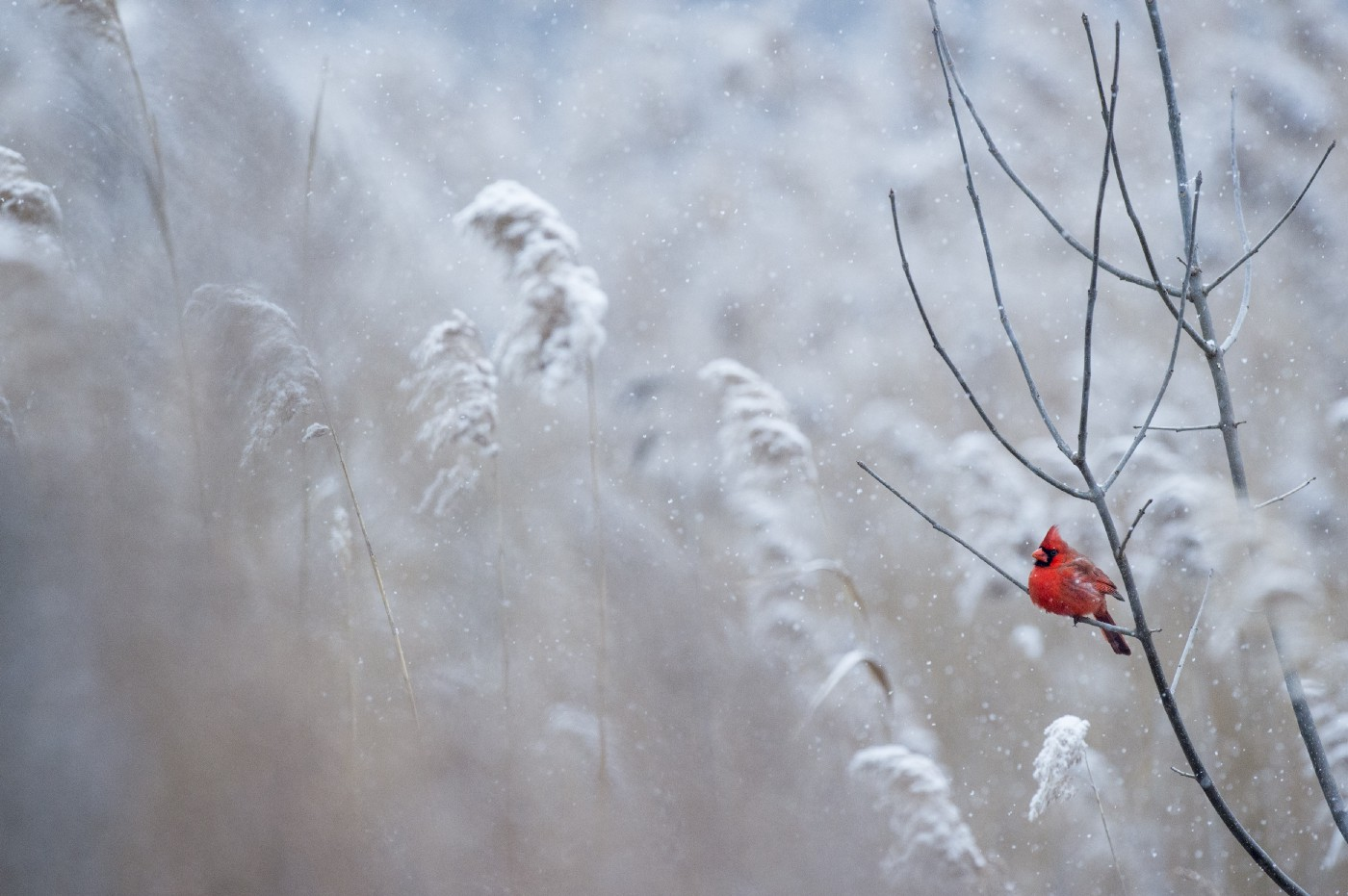 Red bird sitting on a branch in the snow.