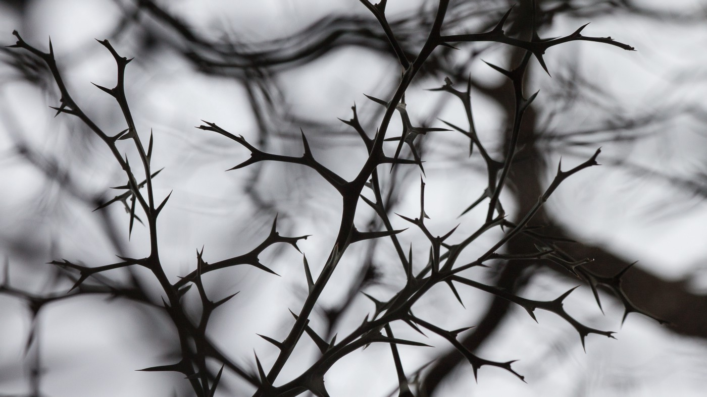 Black and white photo of thorny branches..