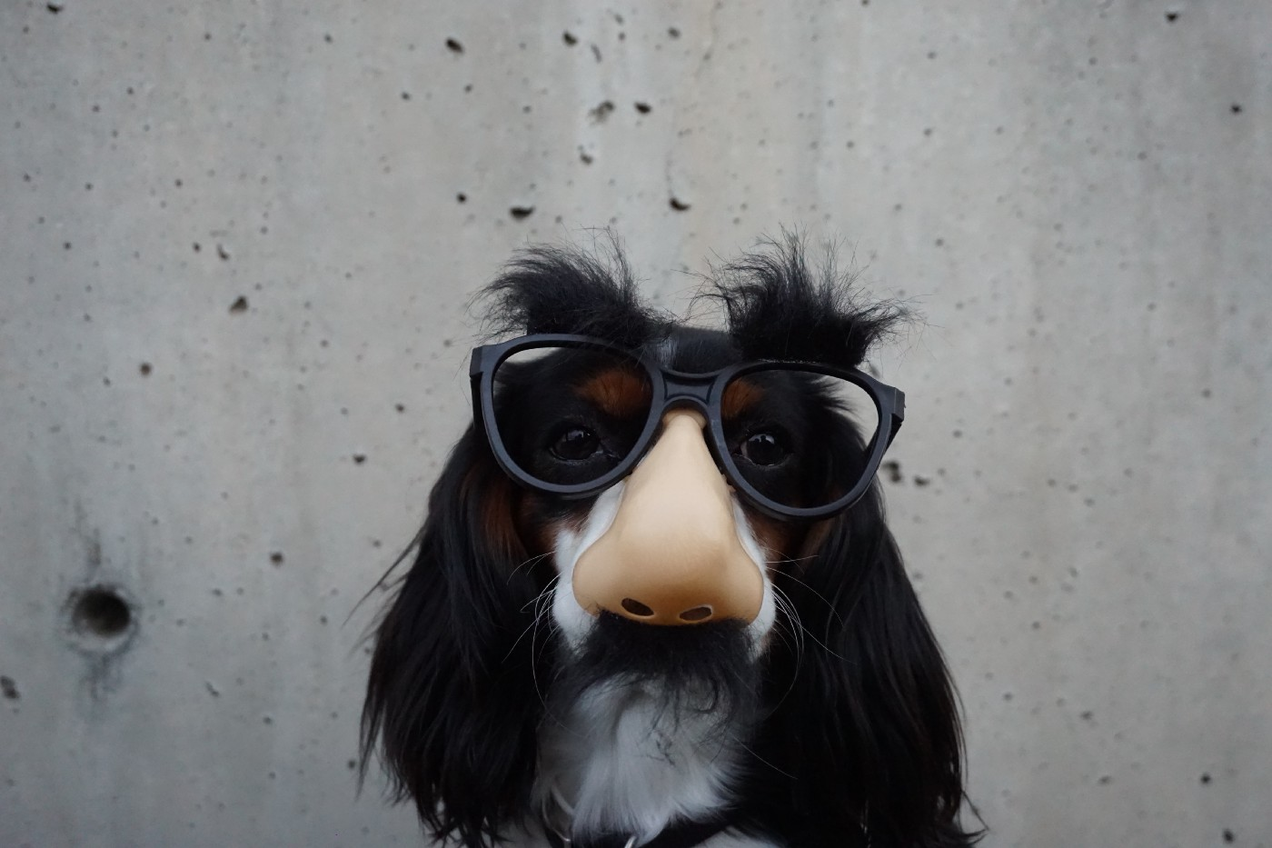 cocker spaniel mix wearing a fake nose and glasses