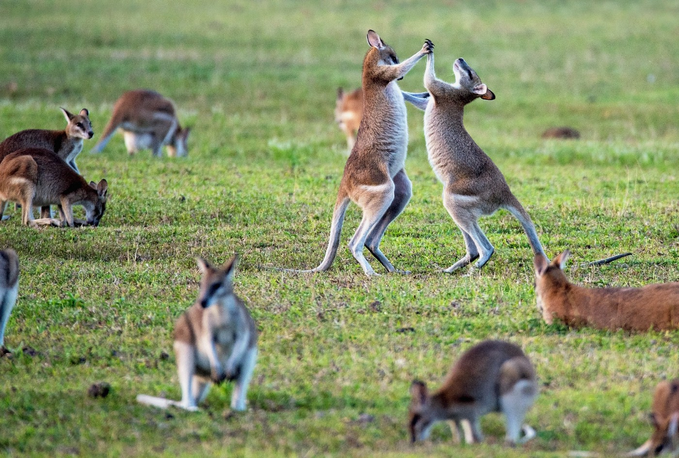 Two kangaroos dancing in the field. Photo by David Clode on Unsplash