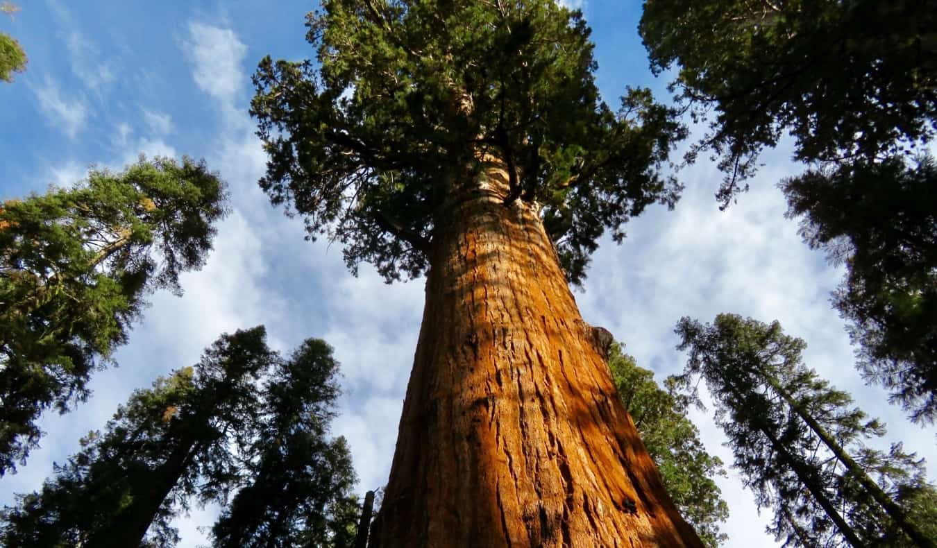 A massive Redwood tree in Redwood National Park, California