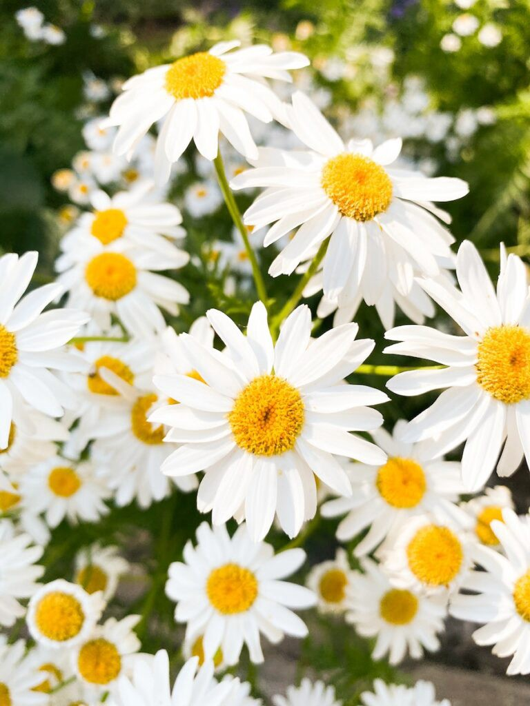 Picture of daisies signifying spring and the life after lockdown.