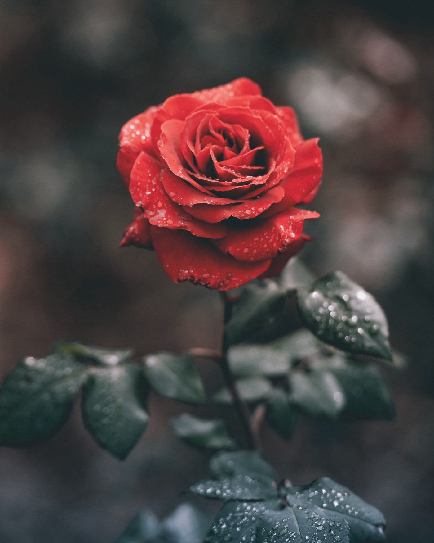 A red rose covered in droplets of water