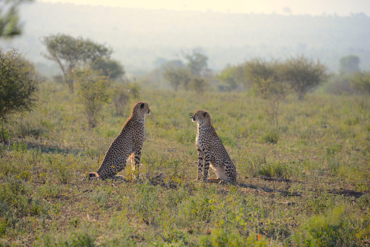 Two cheetahs sitting opposite each other in a field, appearing like they are having a conversation.