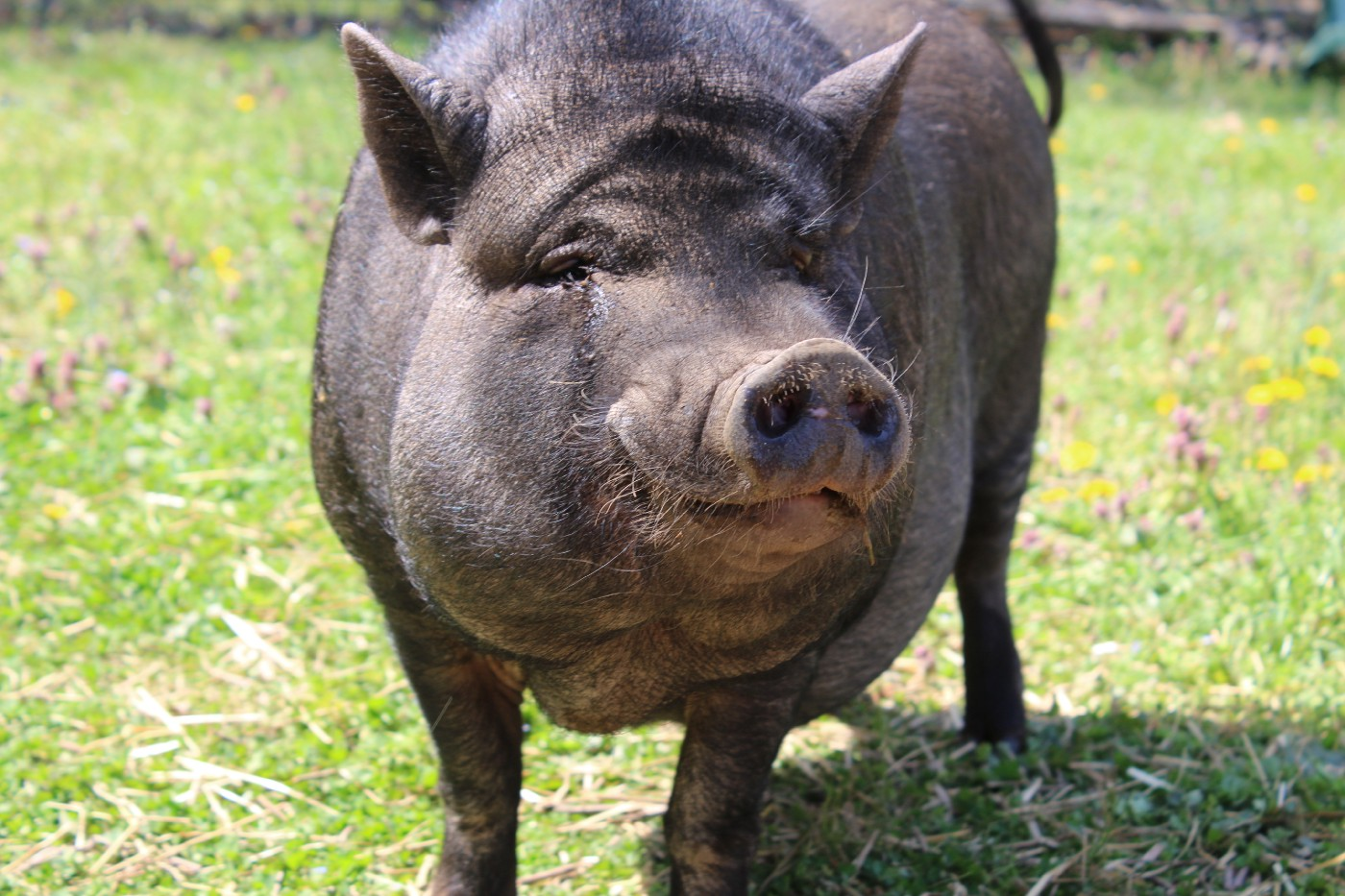 Picture of a potbellied pig—kinda reminds me of my sergeant.