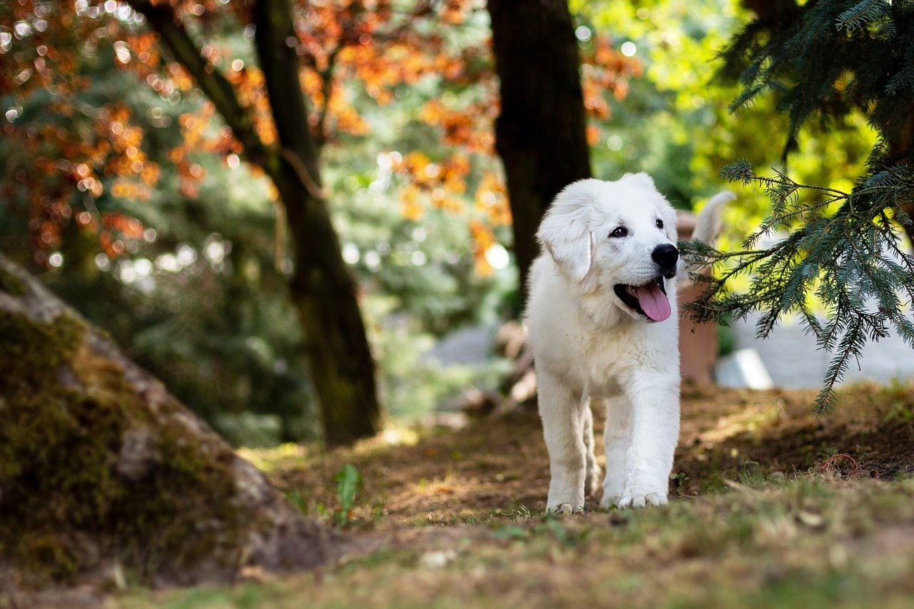 A picture of a delightfully happy white dog moseying through the woods.